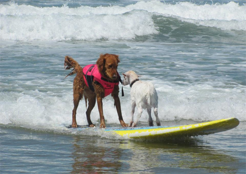 surf dog surfing with goat