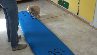 Teach your dog to surf 8 week old pup