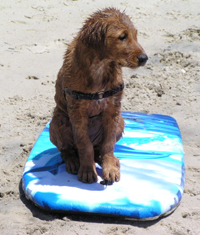 Teach your dog to surf puppy