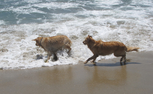 golden retriever in ocean