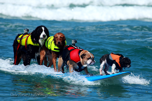 so cal surf dogs tandem surfing