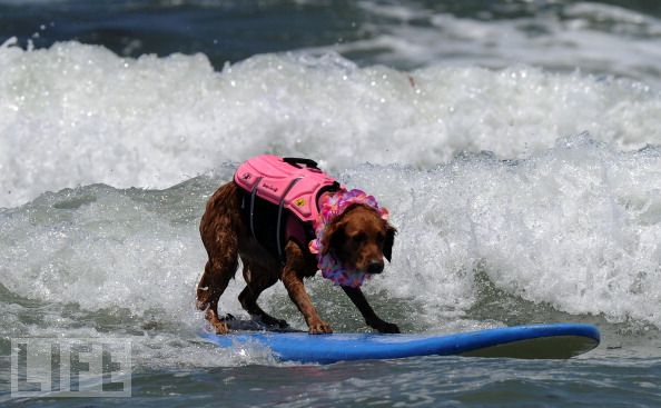 surf dogs at contest