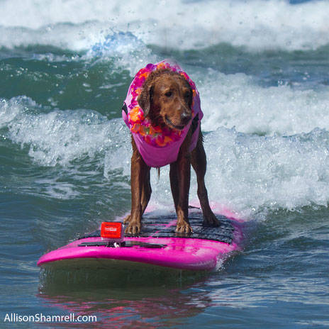 Surf Dog Ricochet - Surfing dogs & dog surfing competition