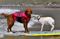 dog surfing with goat