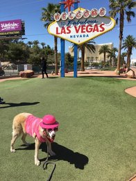 Service dog in Vegas
