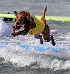 surfing dogs jumping off boards