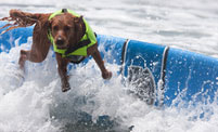 Surf dog wipes out