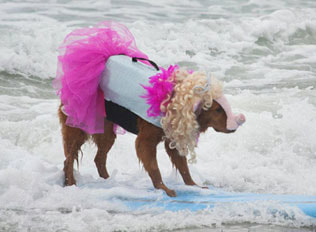 Surfing pig looking for Ker'mutt