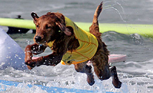 Surf dogs in contests
